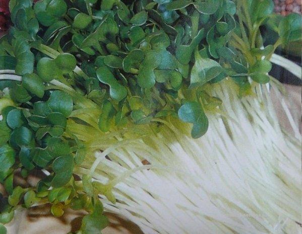 Semena na klíèky øedkvièka 20g